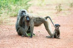 Baboons (Papio) Royalty Free Stock Images