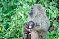 Baboons (Papio) Royalty Free Stock Photo