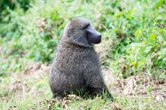 Baboons (Papio) Royalty Free Stock Photography