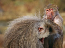 Baboons picking fleas off each other Stock Images