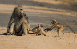 Baboons playing on dirt road with mother watching Royalty Free Stock Photos