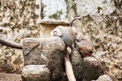 Baboons removing fleas hamadryas baboon. In captivity Stock Photos