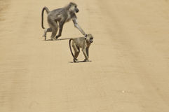 Baboons in the road Stock Photo