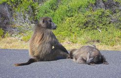 Baboons on the road Royalty Free Stock Images