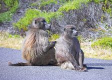 Baboons on the road Royalty Free Stock Photos