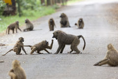 Baboons on road in Kenya Stock Photos