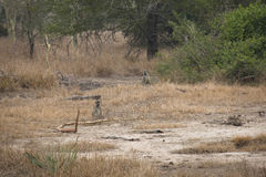 Baboons in the savanna of Gorongosa National Park Royalty Free Stock Image
