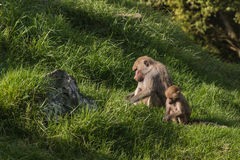 Baboons searching for food Royalty Free Stock Photo