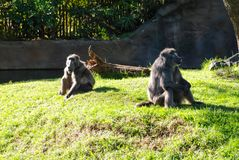 Baboons sit on the lawn stock image