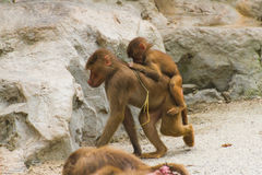 Baboons sitting on each other in nature in summer Royalty Free Stock Photo