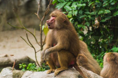 Baboons sitting in nature on ground in summer Royalty Free Stock Images