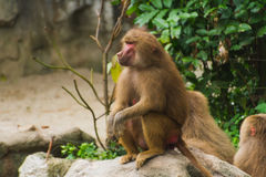 Baboons sitting in nature on ground in summer Stock Image