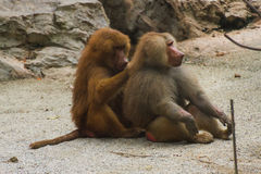 Baboons sitting in nature on ground in summer Royalty Free Stock Photography