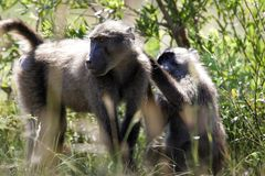 Baboons in South Africa stock photos