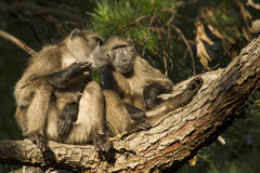 Baboons on branch Royalty Free Stock Images