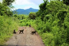 Baboons,Tanzania. This picture was taken in Tanzania , in Arusha national park when a group af baboons crossed the road royalty free stock images