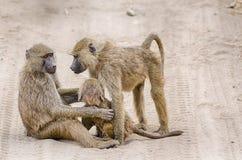 Baboons, Tarangire National Park, Tanzania, Africa. Royalty Free Stock Photos