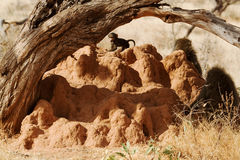 Baboons on termite mound Royalty Free Stock Images