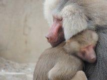 baboons tillsammans två Fotografering för Bildbyråer