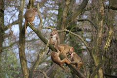 Baboons in tree. 5 baboons playing in a tree royalty free stock photography