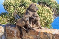 baboons två Arkivbilder