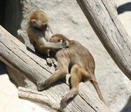 Baboons. Two baboon ( Papio cynocephalus) on a tree royalty free stock photos