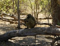 Olive Baboon sentry in the sunshine. Baboons are very sociable, they travel and live in a troop often seen cleaning each other grooming and play fighting stock images