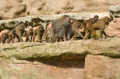 Baboons walking in a group. Boboons walking in a family group Stock Photography