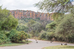 Baboons and warthogs below the Waterberg Plateau near Otjiwarong Royalty Free Stock Images