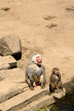 Baboons watching humans Stock Photo