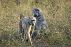 Baboons in the wild royalty free stock images