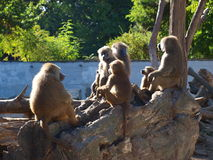 Baboons, Wroclaw, Poland