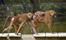 Baboons and young Royalty Free Stock Images