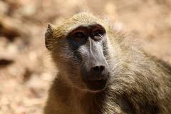 Close up photos of Baboons in Zambia royalty free stock photo