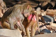 Baboons at Zoo. A closeup view of two baboon monkeys at the Phoenix, Arizona (USA) zoo Stock Image