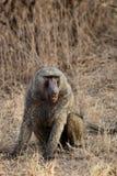 baboonsavanna Royaltyfria Bilder