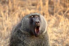 baboonsavanna Royaltyfri Fotografi