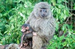 baboonspapio Arkivfoton