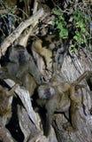 baboonsskådespelartrupp Arkivbilder