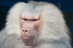 Baboonstående Arkivfoton