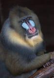 Babouin images libres de droits