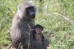 babouin Photo libre de droits