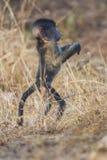 Babouin, Afrique image stock