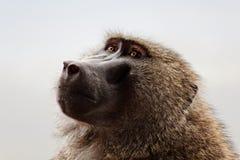 Babouin au Kenya Photographie stock libre de droits