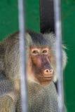 Babouin au zoo photos libres de droits