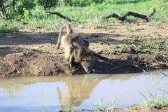 Babouin buvant d'un étang Photos stock
