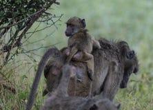 Babouin, désambiguisation, avec le bébé sur elle de retour images stock