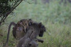 Babouin, désambiguisation, avec le bébé sur elle de retour image stock