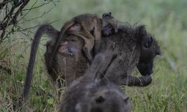 Babouin, désambiguisation, avec le bébé sur elle de retour dans l'herbe verte image libre de droits
