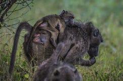 Babouin, désambiguisation, mangeant des graines de la terre photographie stock libre de droits